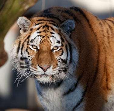 Copenhagen zoo visitfrederiksberg-tiger