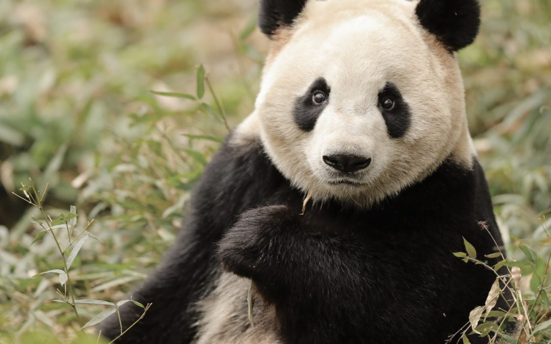 Nu lander pandaerne i ZOO: Her er det officielle program for pandaernes ankomst
